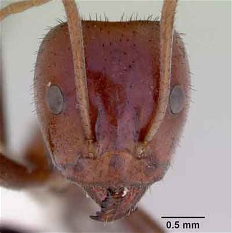 Meat Ants may help to control Cane Toads