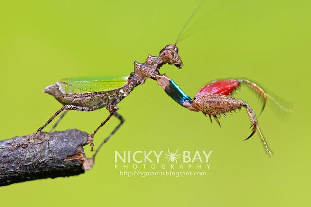 Pachymantis bicingulata - DSC_0674