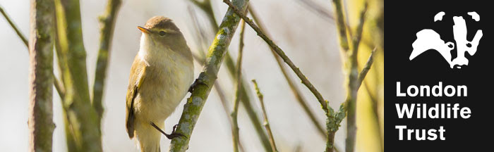 Chiffchaff on branches