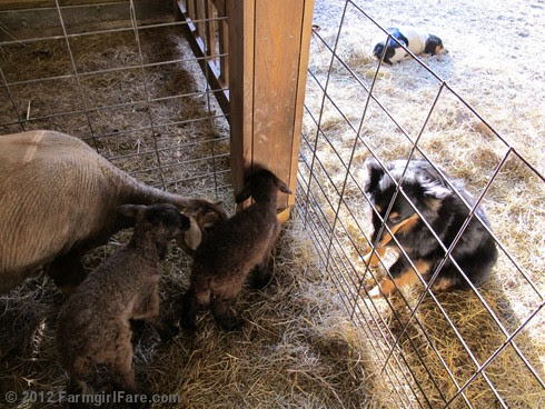 Monday morning lambing 6 - FarmgirlFare.com