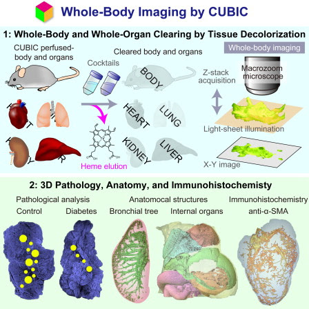 Whole-Body Imaging with Single-Cell Resolution by Tissue Decolorization: Cell