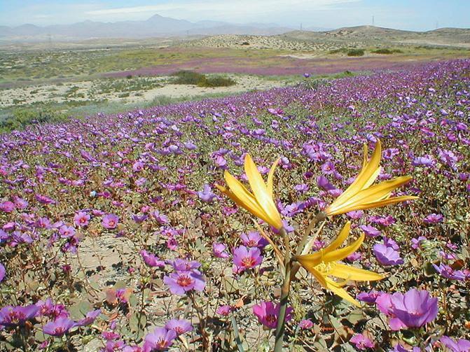 Ligações Ficheiro: Desierto florido.jpg
