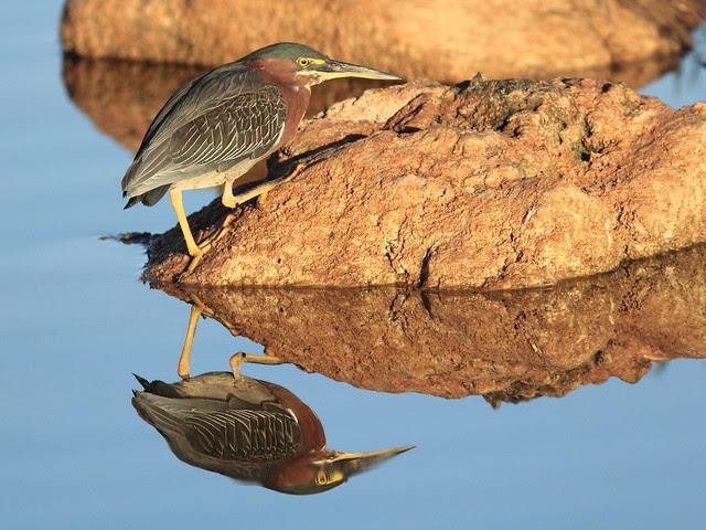 Green Heron 2-20120124