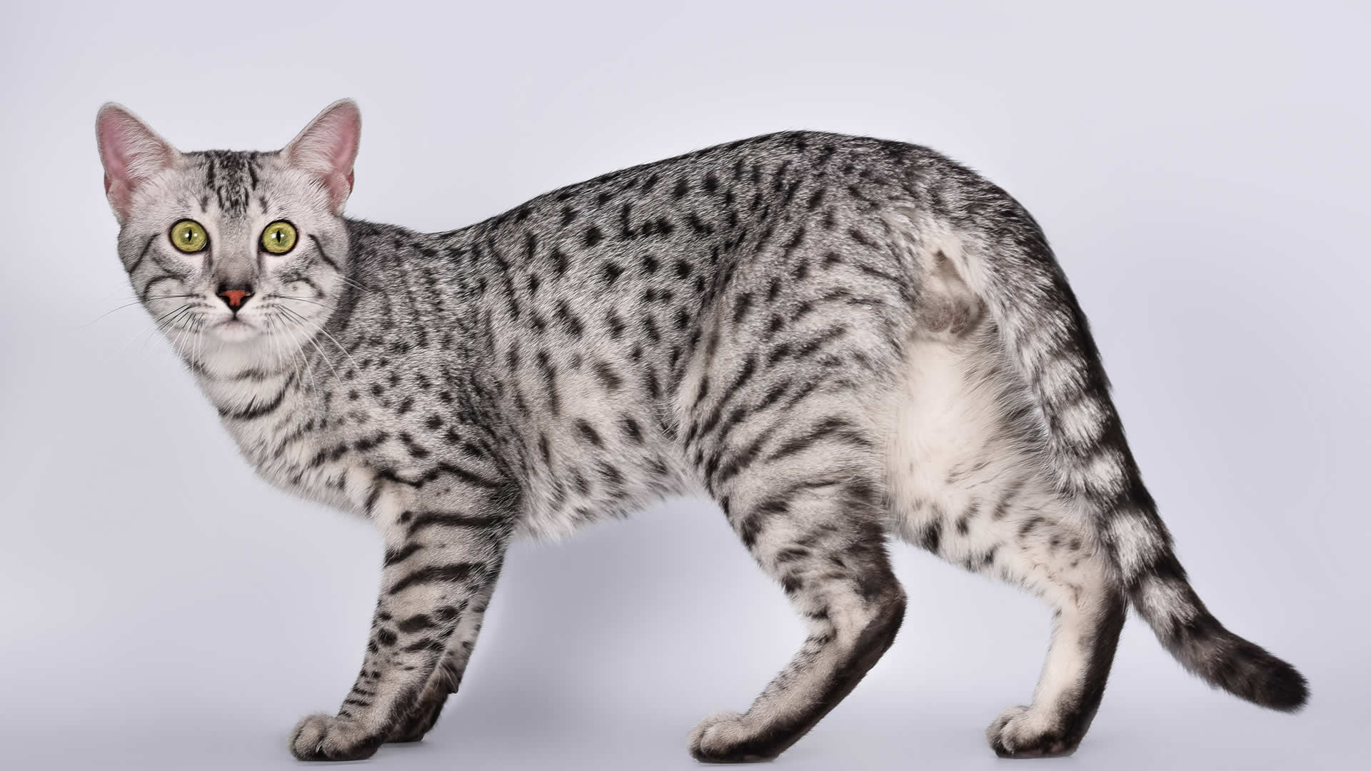 Long Tail Cat Breeds Fluffy Tails Others