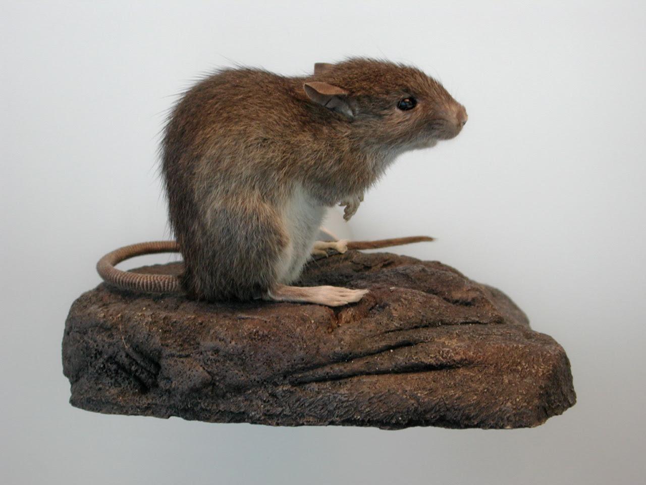A Pacific Rat (photograph of museum specimen)