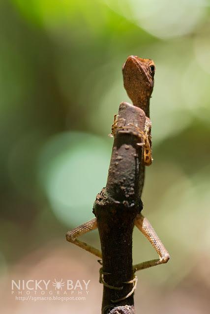 Crested Lizard (Agamidae) - DSC_3358