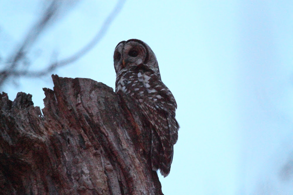 Barred Owl Hunt