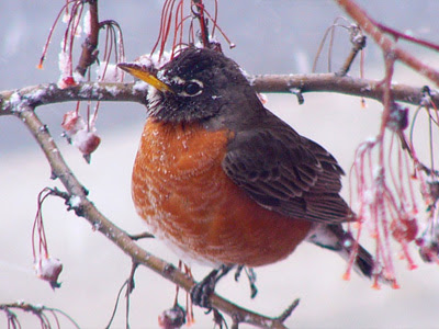 Frozen Robin, tweet, tweet, tweet