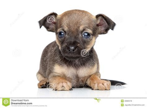 Chihuahua And Toy Terrier Mixed breed Puppy Stock Photo   Image: 40680478