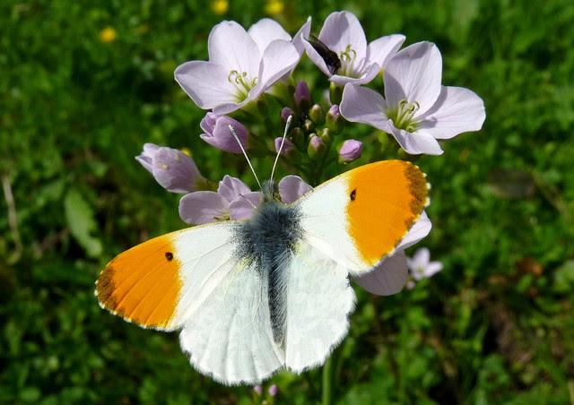 24156 - Orange Tip Butterfly