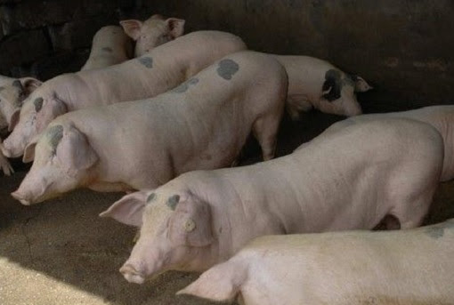 Fiery Cross Reef in South China Sea - Pig Farm
