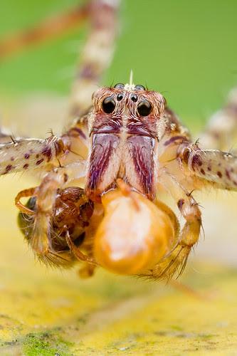 nursery web spider with wasp prey IMG_8472 copy