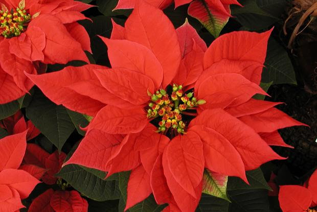 Poinsettias Space For Life