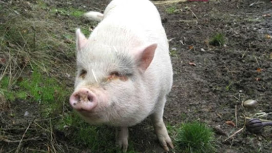 'Shock' and 'heartbreak' after adopted pig ends up on dinner table