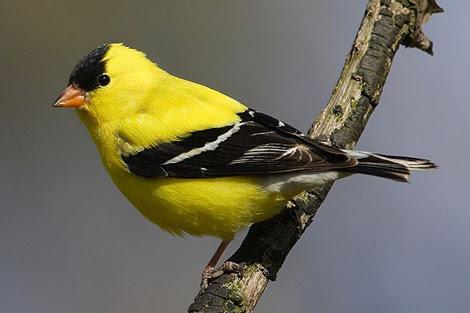 Un ejemplar de canario salvaje