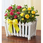 Flower Delivery by 1-800 Flowers Charming Rose Garden Large Plant