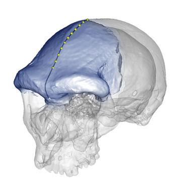 Los primeros 'Homo sapiens' tenían la frente parecida a la de los humanos actuales