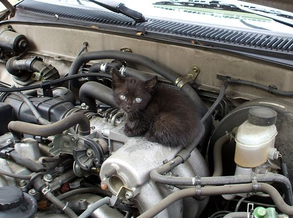 A photo I took of a kitten that I found hiding underneath the hood of my dad's pickup truck in May of 2012 (it was removed safely).