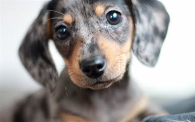 Download wallpapers dachshund, 4k, dogs, cute animals, muzzle, Canis lupus familiaris for desktop free. Pictures for desktop free