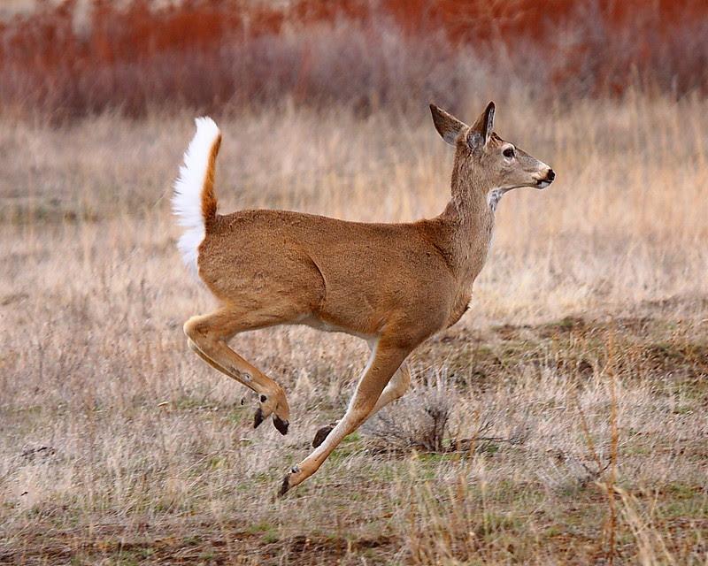 IMG_7975 White-Tailed Deer, National Bison Range
