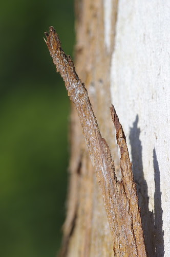 Sigma 105mm f/2.8 1:1 Ex DG Macro on Tree