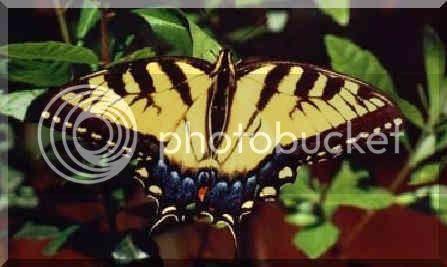 yellow n black butterfly
