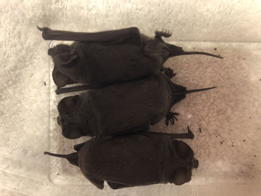 Colony of 83 bats rescued from behind a mural in Menlo Park - SFGate