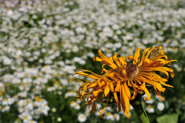 fading sneezeweed and daisies
