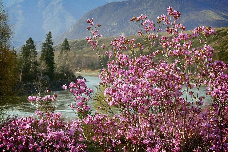 Весна идёт, Алтай