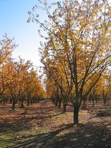 Sunlight through the plum orchard