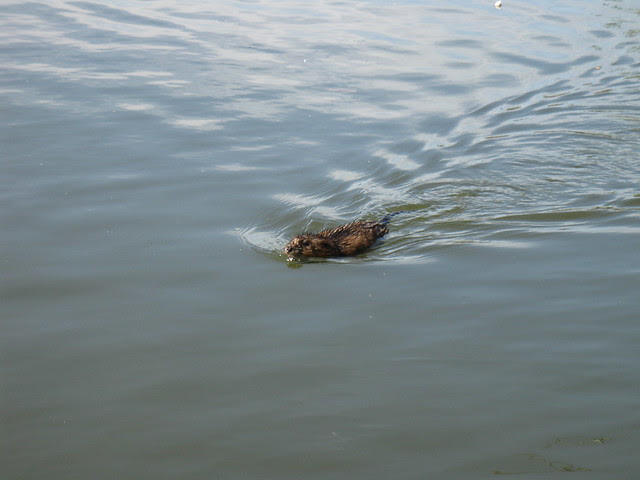 20110509_Gowanus_Canal_muskrat_Ondatra_at_second_street_floating_garden_Adam_Katzman