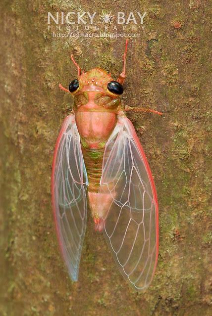 Cicada (Cicadidae) - DSC_1766