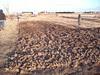 5,000 sq ft of potato garden