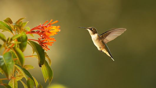 Watch Full Episodes Online of Nature on PBS | Super Hummingbirds | Preview