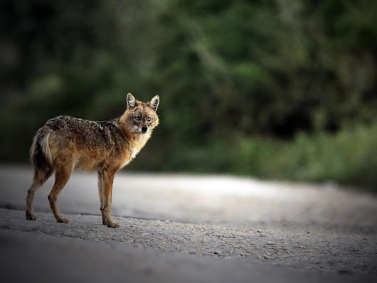 Golden jackals moving into western Europe — The Independent