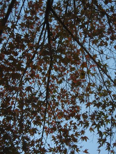 DSCN7397 _ Red Autumn Leaves