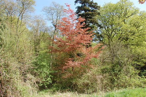 copper beech leafed