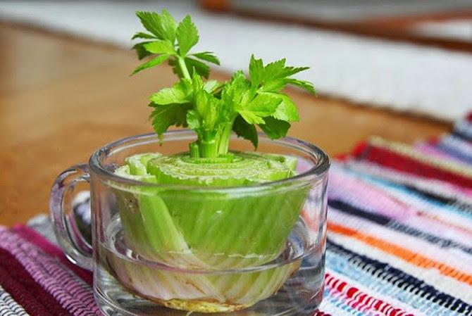 Сельдерей еда, зелень, овощи, своими руками