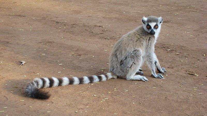 File:Lemur catta 001.jpg