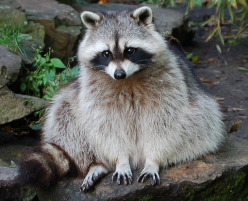 Fun & Interesting Facts About Raccoons