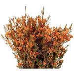 Orange Dyed Wax Flower 14 Bunches