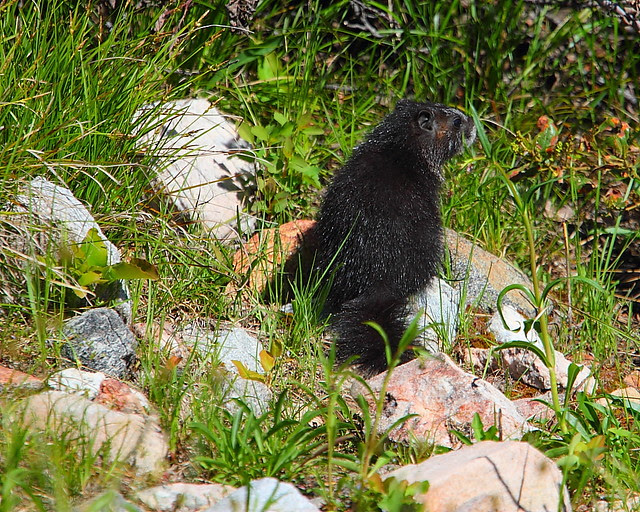 IMG_1655 Marmot? Taggart Lake Trail, Grand Teton National Park