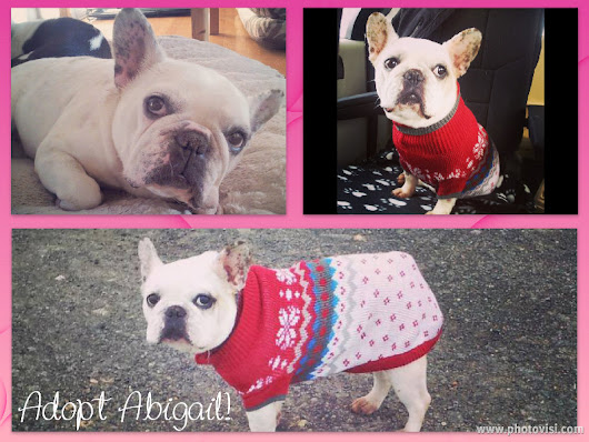 Abigail - Montreal Area French Bulldog for Adoption