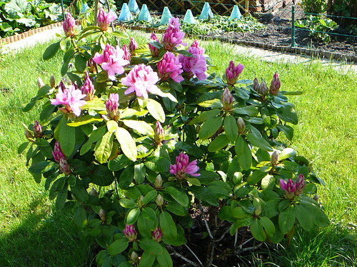 Rhododendron 2008 (02)