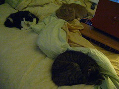 Three cats in bed