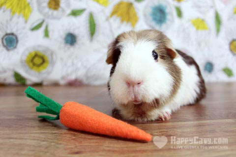 A Guinea Pig Tooth Infection – Part 3: Buttercup's Jaw Abscess Surgery