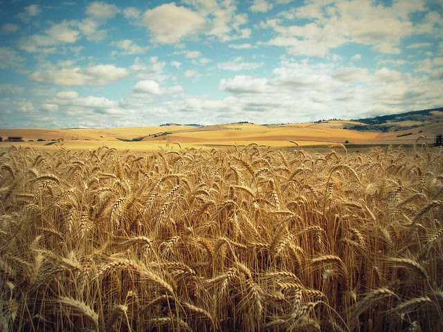 ww_wheat_field