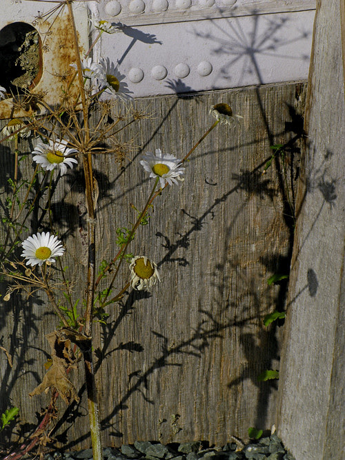 daisies and shadows, Kasaan, Alaska