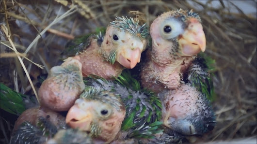 Saving baby parrots from animal traffickers