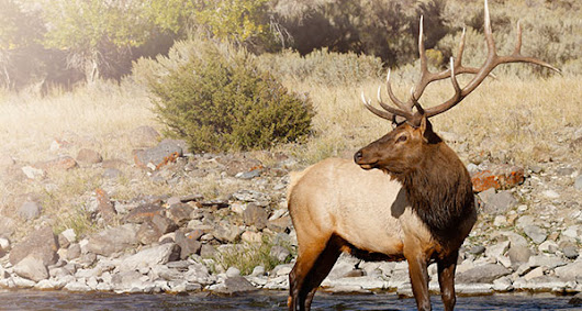 The Meaning of an Elk Sighting | California Psychics